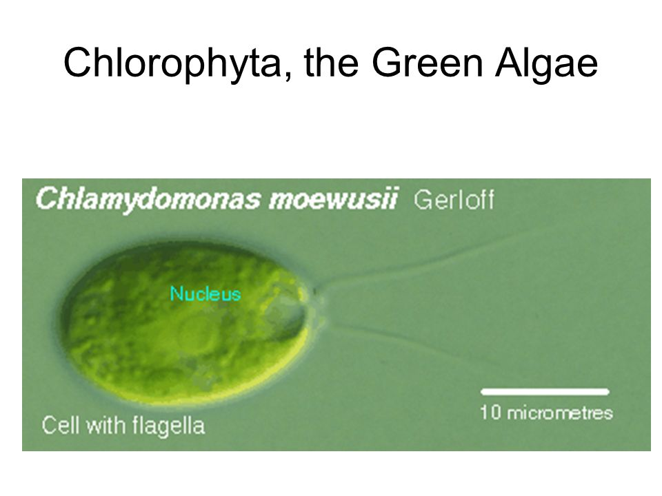 Chlorophyta, the Green Algae