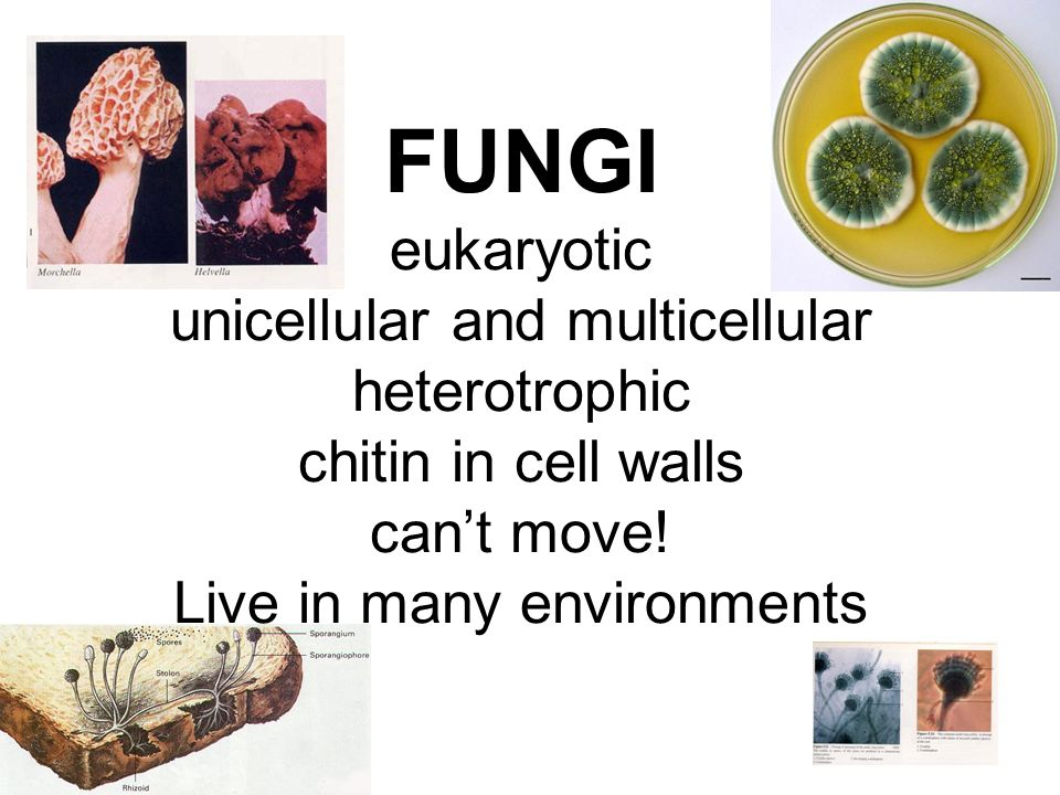 FUNGI eukaryotic unicellular and multicellular heterotrophic chitin in cell walls can't move.