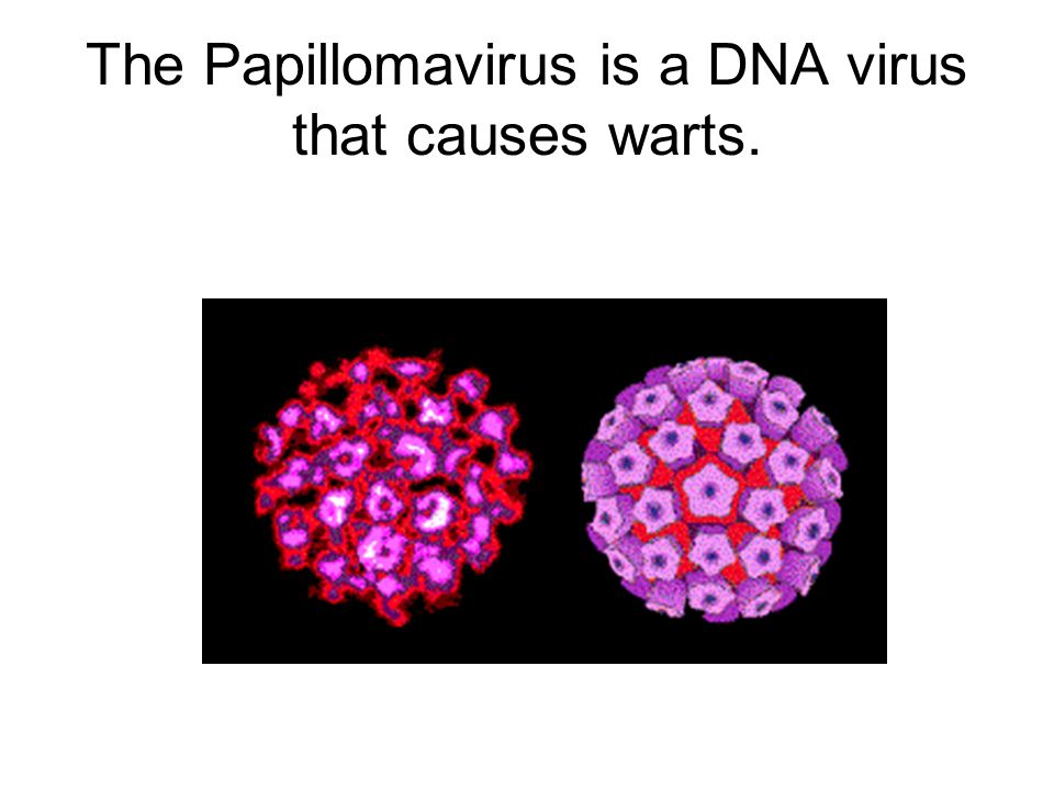 The Papillomavirus is a DNA virus that causes warts.