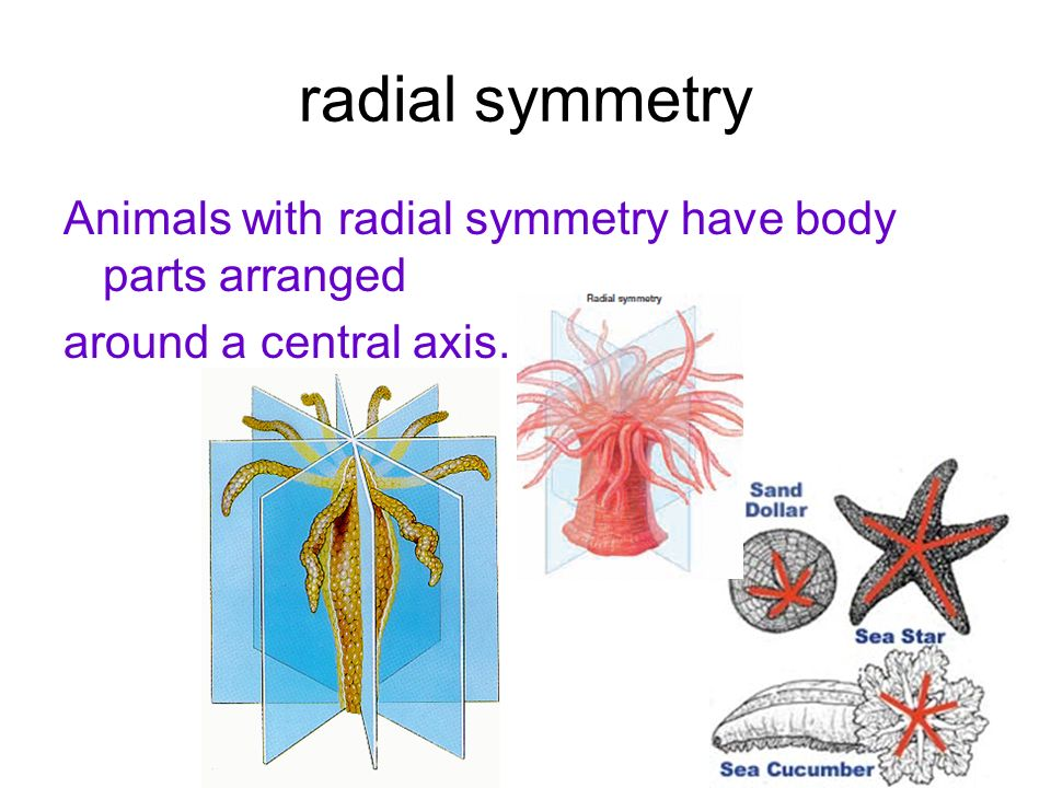 radial symmetry Animals with radial symmetry have body parts arranged