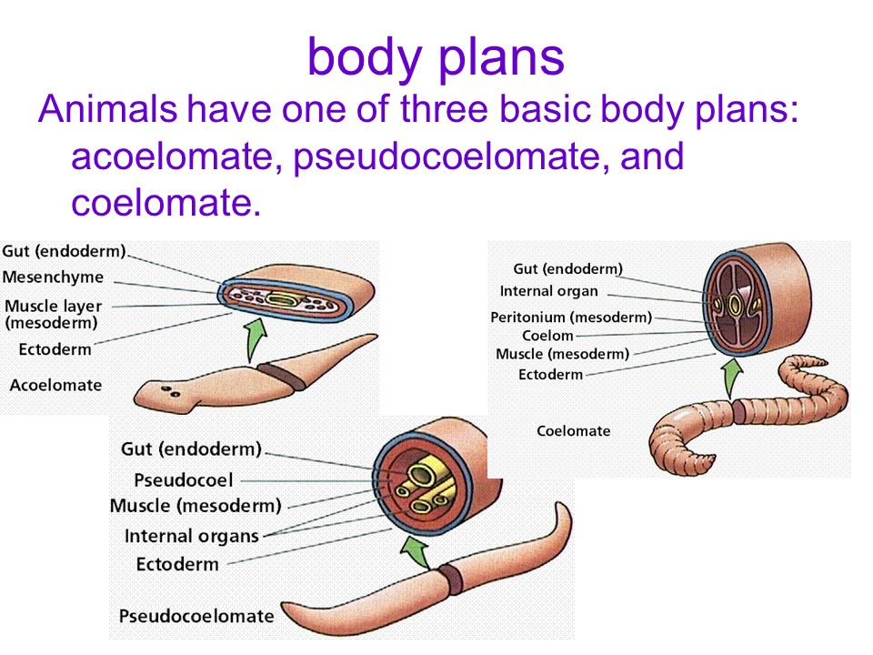 body plans Animals have one of three basic body plans: acoelomate, pseudocoelomate, and coelomate.
