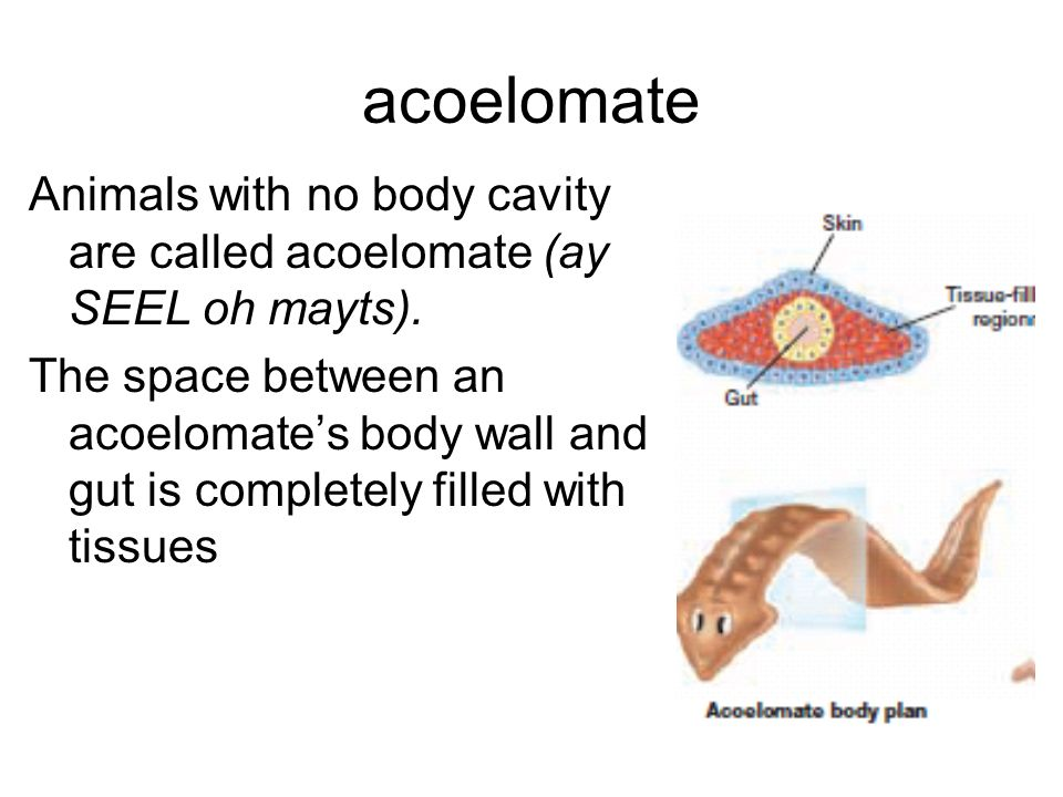 acoelomate Animals with no body cavity are called acoelomate (ay SEEL oh mayts).