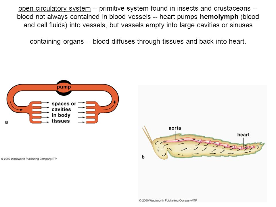 open circulatory system -- primitive system found in insects and crustaceans -- blood not always contained in blood vessels -- heart pumps hemolymph (blood and cell fluids) into vessels, but vessels empty into large cavities or sinuses containing organs -- blood diffuses through tissues and back into heart.