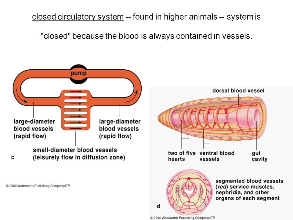 closed circulatory system -- found in higher animals -- system is closed because the blood is always contained in vessels.