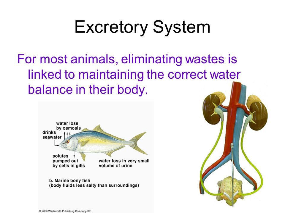 Excretory System For most animals, eliminating wastes is linked to maintaining the correct water balance in their body.