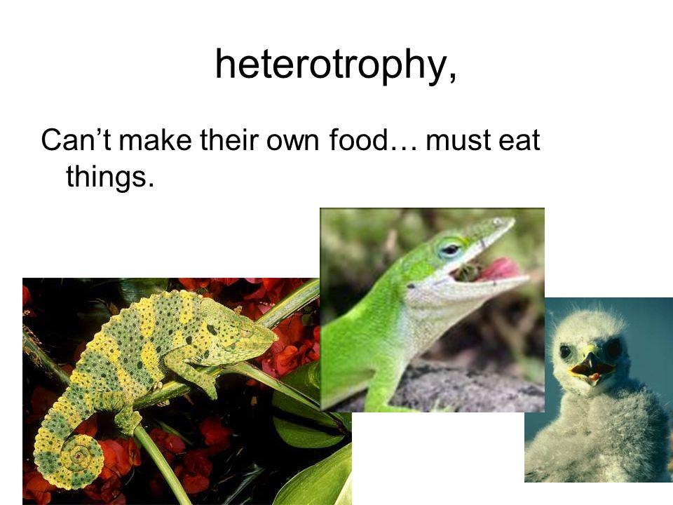 heterotrophy, Can't make their own food… must eat things.