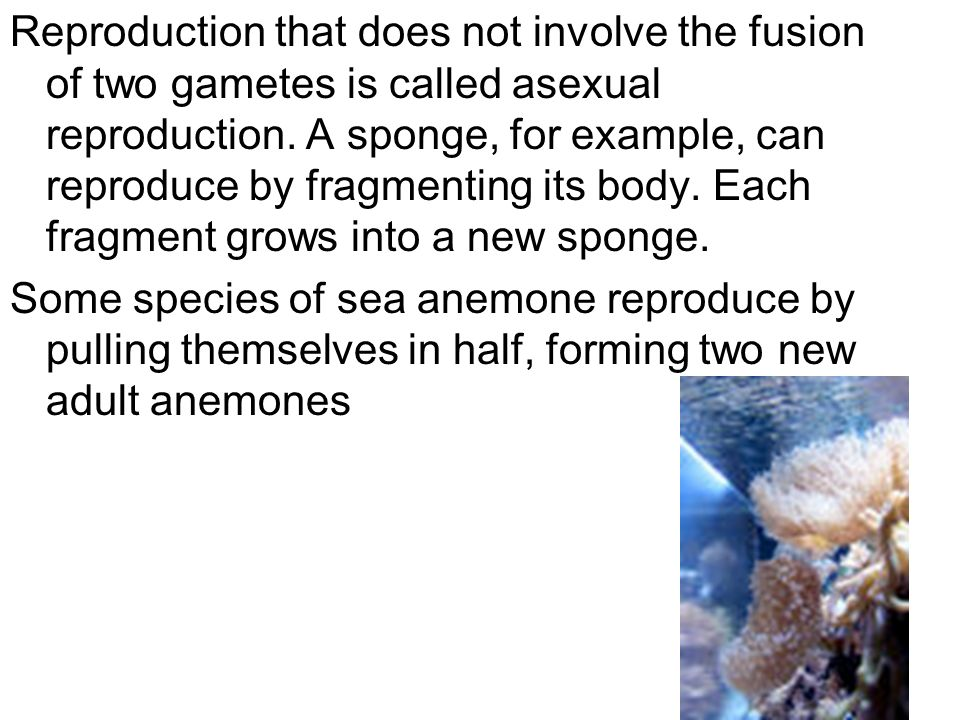 Reproduction that does not involve the fusion of two gametes is called asexual reproduction. A sponge, for example, can reproduce by fragmenting its body. Each fragment grows into a new sponge.