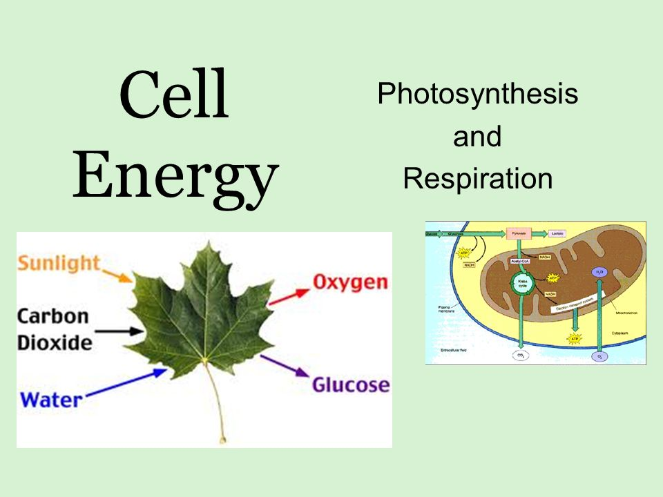 the role of photosynthesis and respiration There are several structures within a leaf that have important roles in the movement of nutrients and water throughout a plant each plant contains a branched system of tubes called xylem, which is responsible for water transport from the roots (where it is taken up) to the leaves (where it is used in photosynthesis.