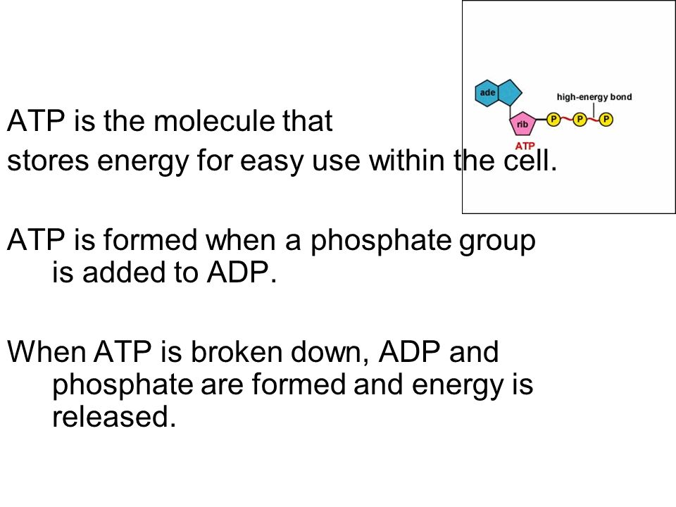 ATP is the molecule that