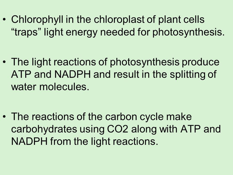 Chlorophyll in the chloroplast of plant cells traps light energy needed for photosynthesis.
