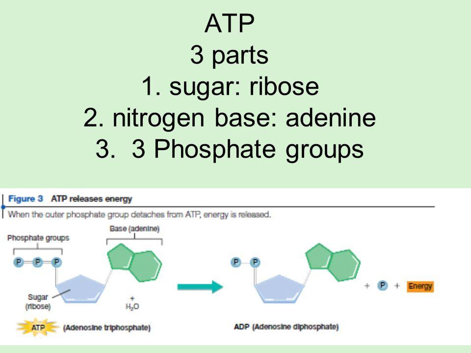 ATP 3 parts 1. sugar: ribose 2. nitrogen base: adenine 3