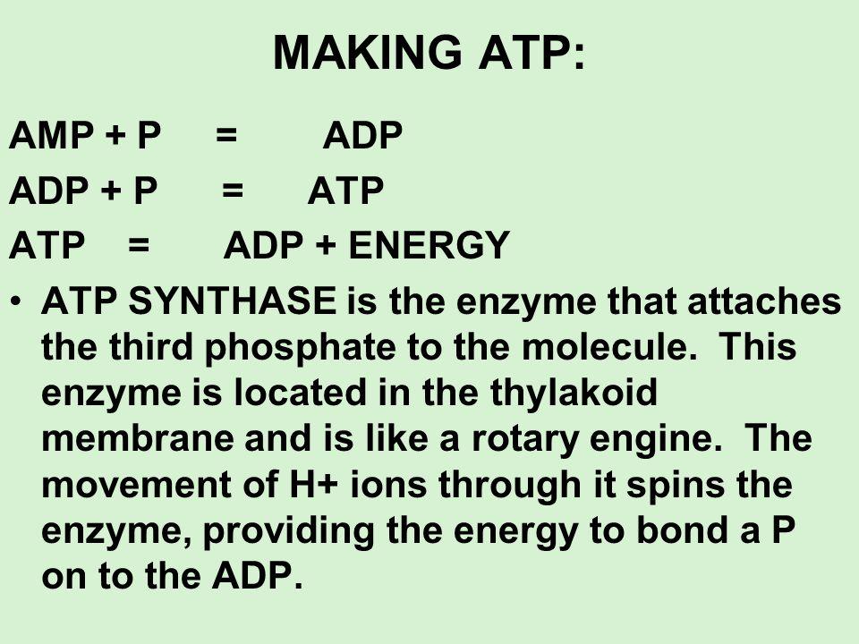 MAKING ATP: AMP + P = ADP ADP + P = ATP ATP = ADP + ENERGY