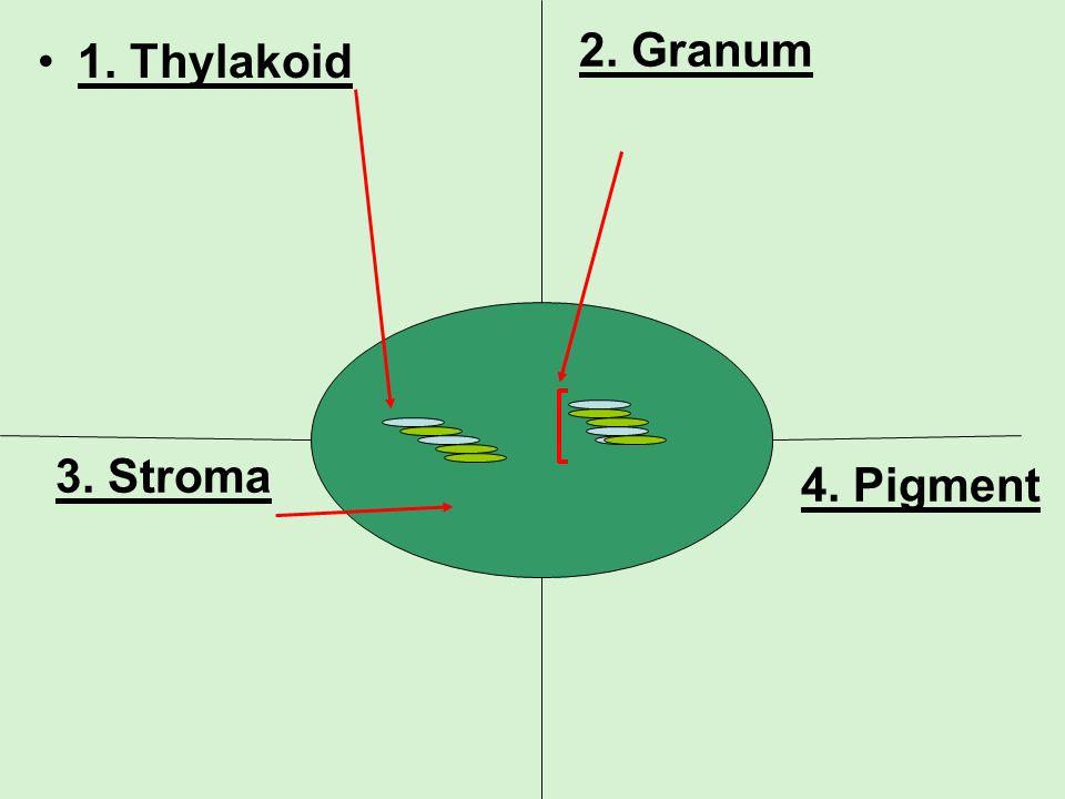 2. Granum 1. Thylakoid 3. Stroma 4. Pigment