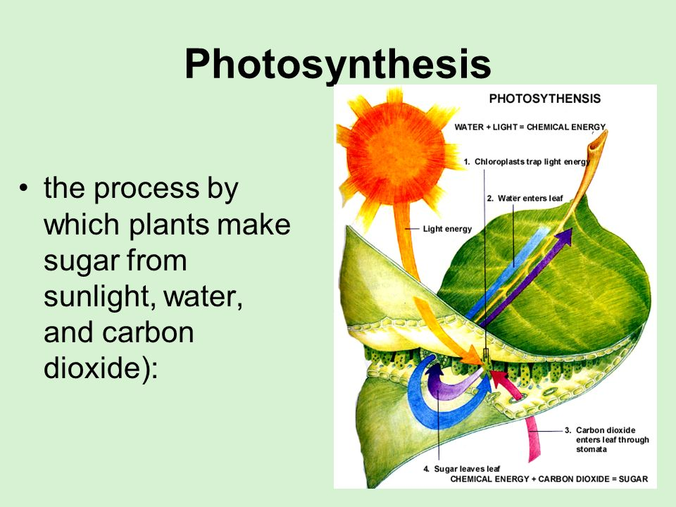Photosynthesis the process by which plants make sugar from sunlight, water, and carbon dioxide):