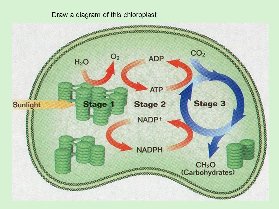 Draw a diagram of this chloroplast