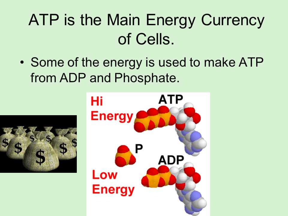ATP is the Main Energy Currency of Cells.