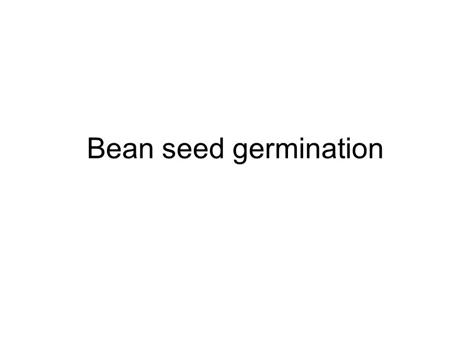 Bean seed germination