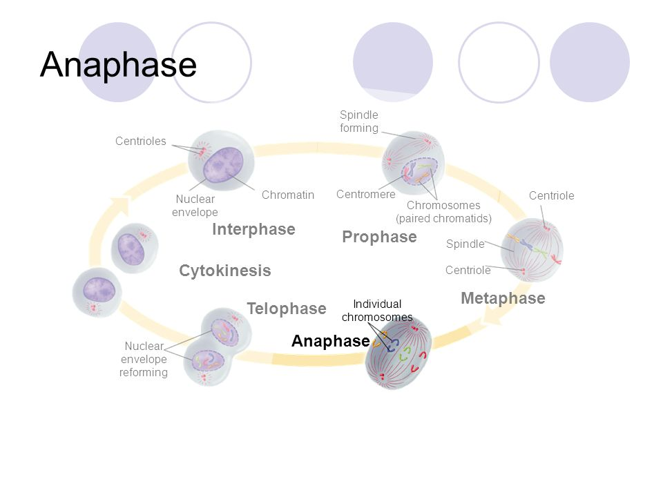 Anaphase Interphase Prophase Cytokinesis Metaphase Telophase Anaphase