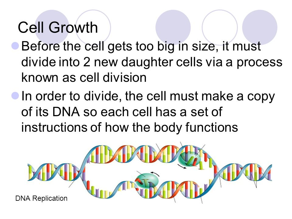 Cell Growth Before the cell gets too big in size, it must divide into 2 new daughter cells via a process known as cell division.