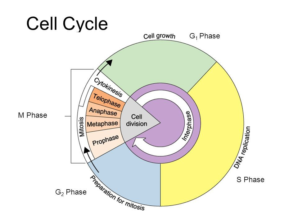 Cell Cycle G1 Phase M Phase S Phase G2 Phase