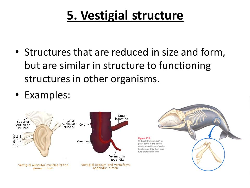 5. Vestigial structure Structures that are reduced in size and form, but are similar in structure to functioning structures in other organisms.