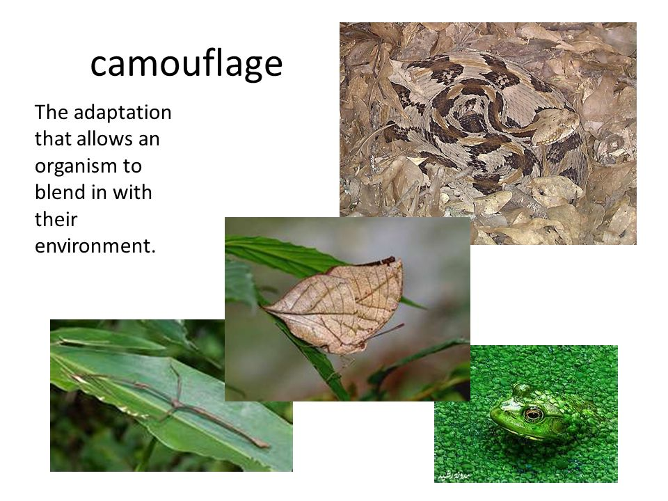 camouflage The adaptation that allows an organism to blend in with their environment.