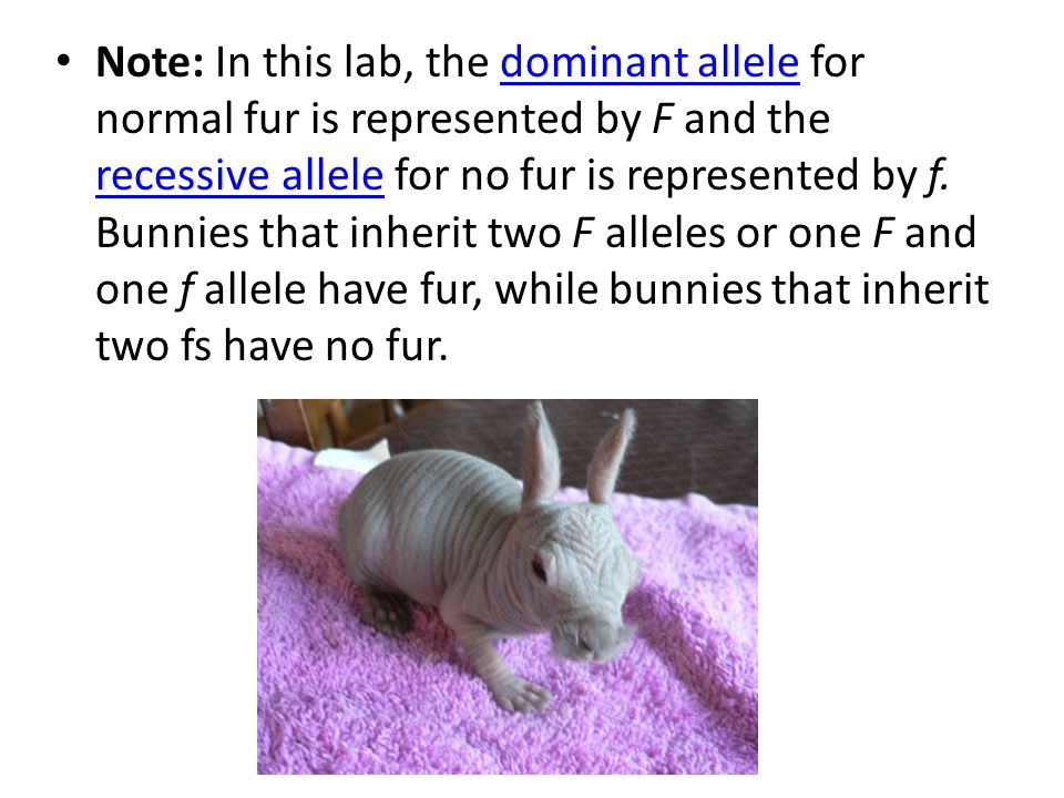 Note: In this lab, the dominant allele for normal fur is represented by F and the recessive allele for no fur is represented by f.