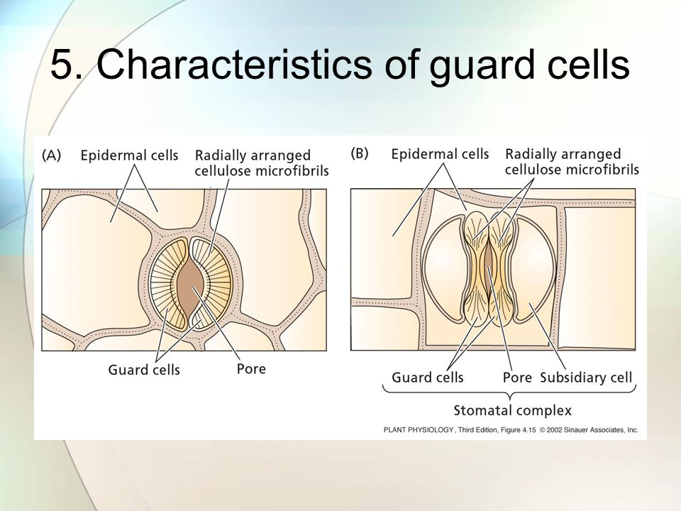 5. Characteristics of guard cells