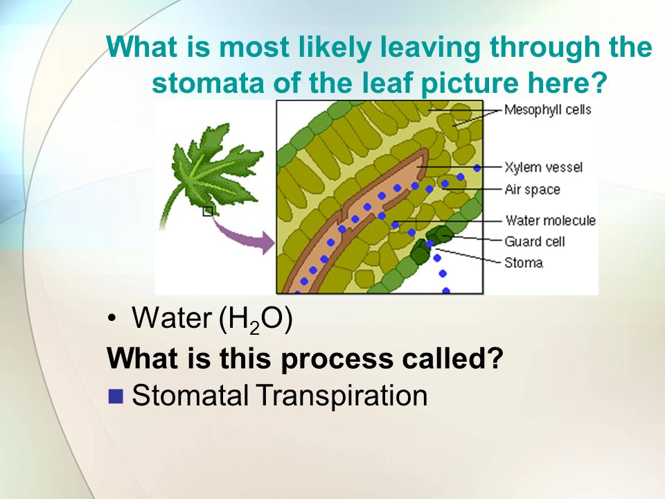 What is this process called Stomatal Transpiration