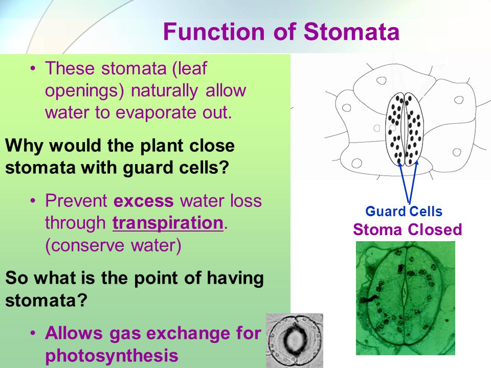 Function of Stomata These stomata (leaf openings) naturally allow water to evaporate out. Why would the plant close stomata with guard cells