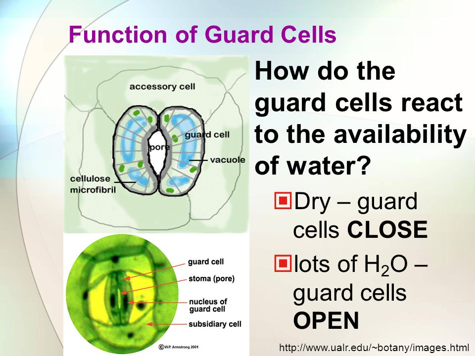 How do the guard cells react to the availability of water