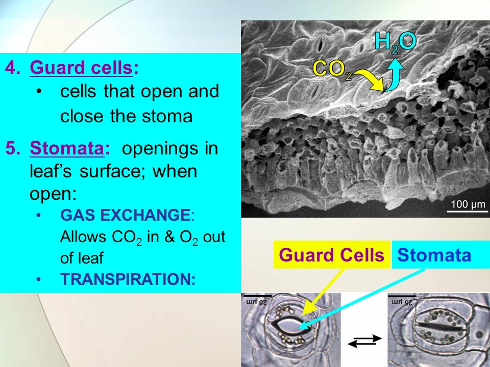 cells that open and close the stoma