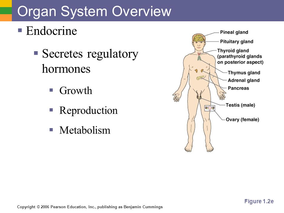 Organ System Overview Endocrine Secretes regulatory hormones Growth