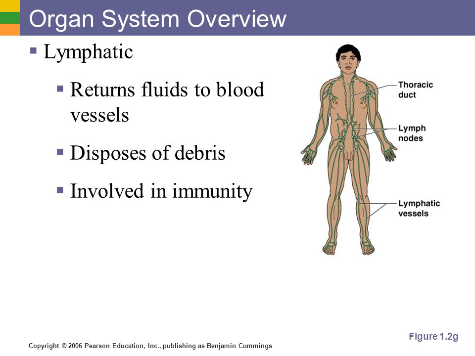 Organ System Overview Lymphatic Returns fluids to blood vessels