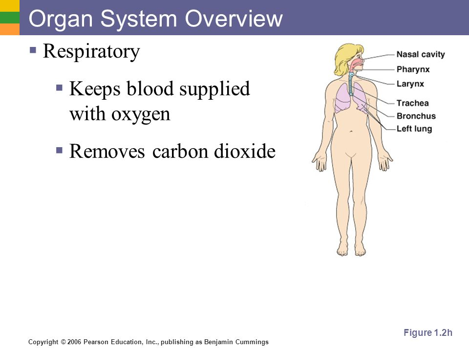 Organ System Overview Respiratory Keeps blood supplied with oxygen