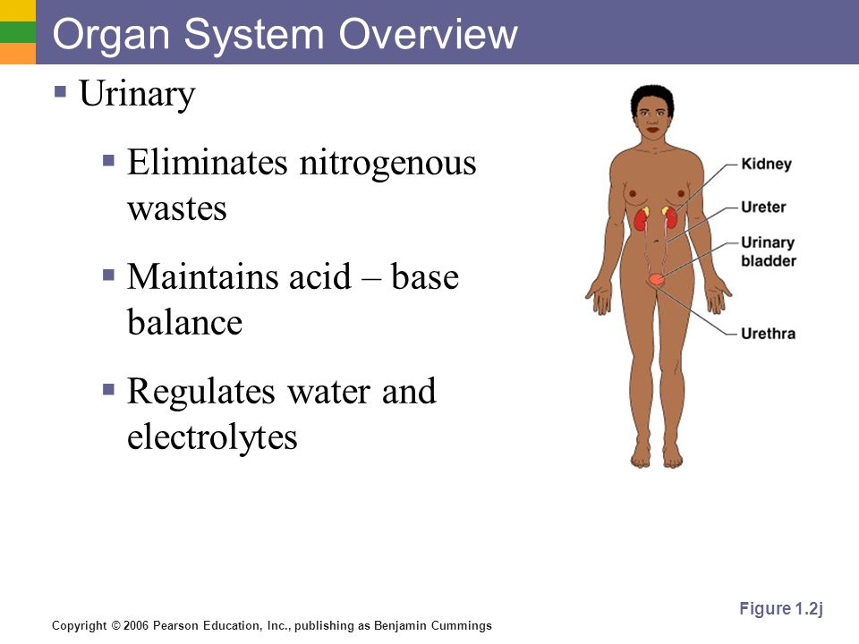 Organ System Overview Urinary Eliminates nitrogenous wastes