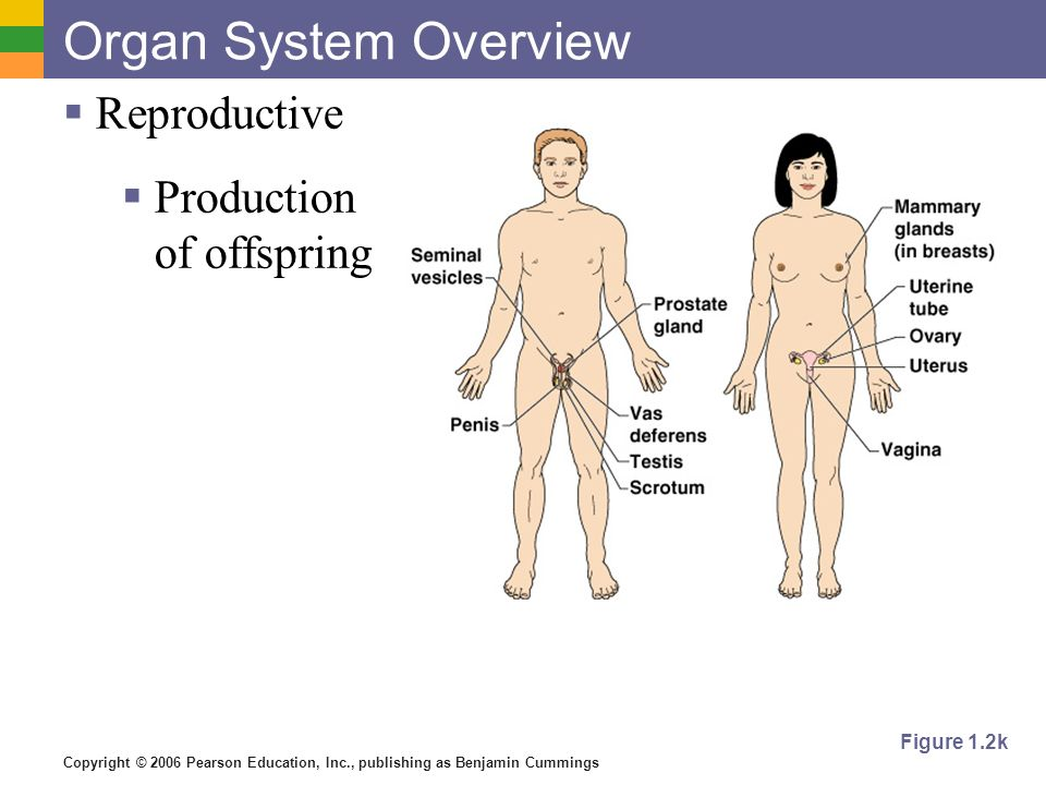 Organ System Overview Reproductive Production of offspring Figure 1.2k