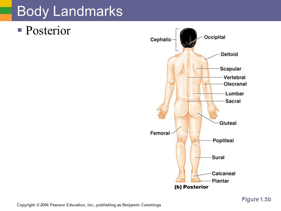 Body Landmarks Posterior Figure 1.5b