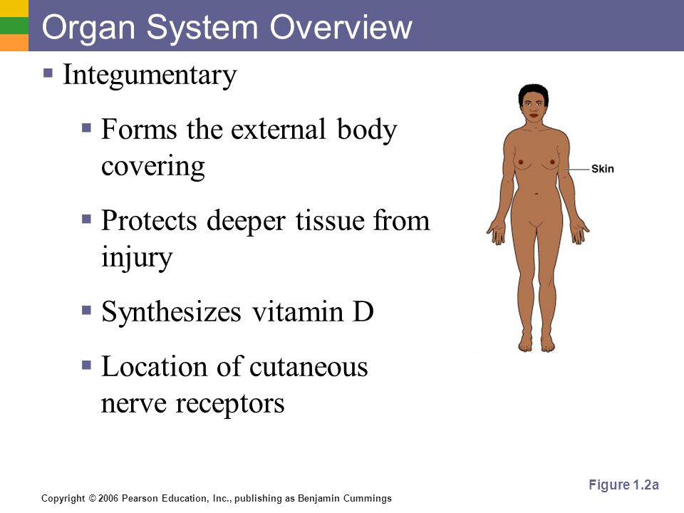 Organ System Overview Integumentary Forms the external body covering