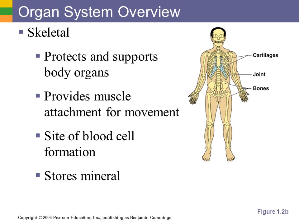 overview of the skeletal system