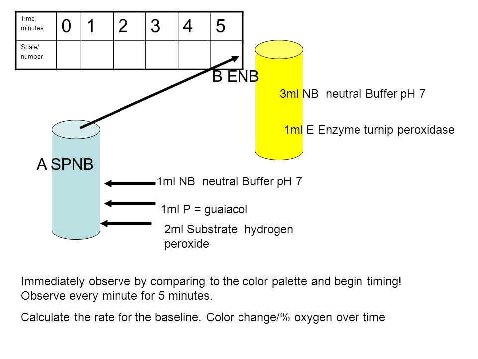 ap investigation lab 13 enzyme activity Investigation 13 enzyme activity enzyme for this lab to begin this investigation, you will focus on the enzyme peroxidase obtained from a turnip.