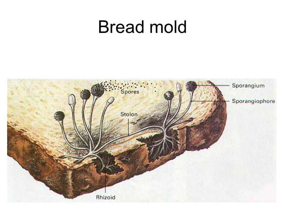 Bread mold
