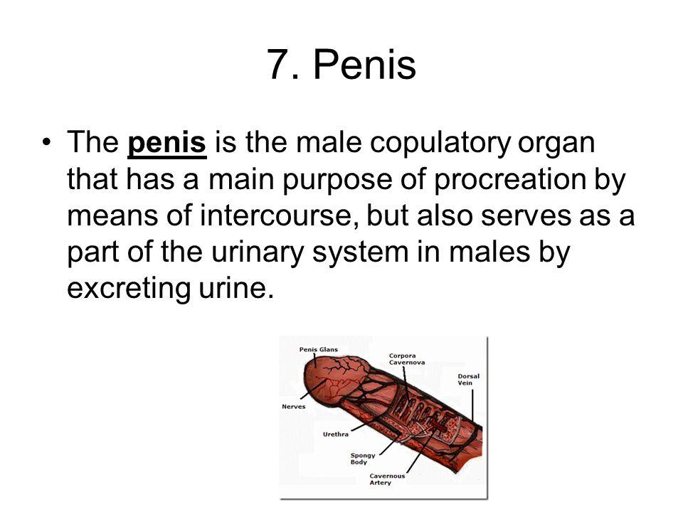 7. Penis