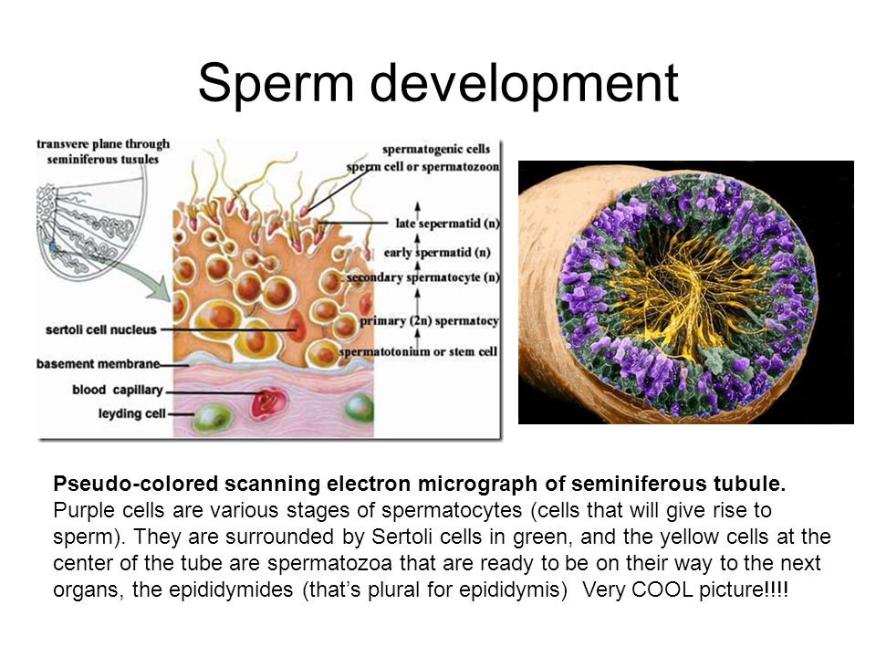 Sperm development