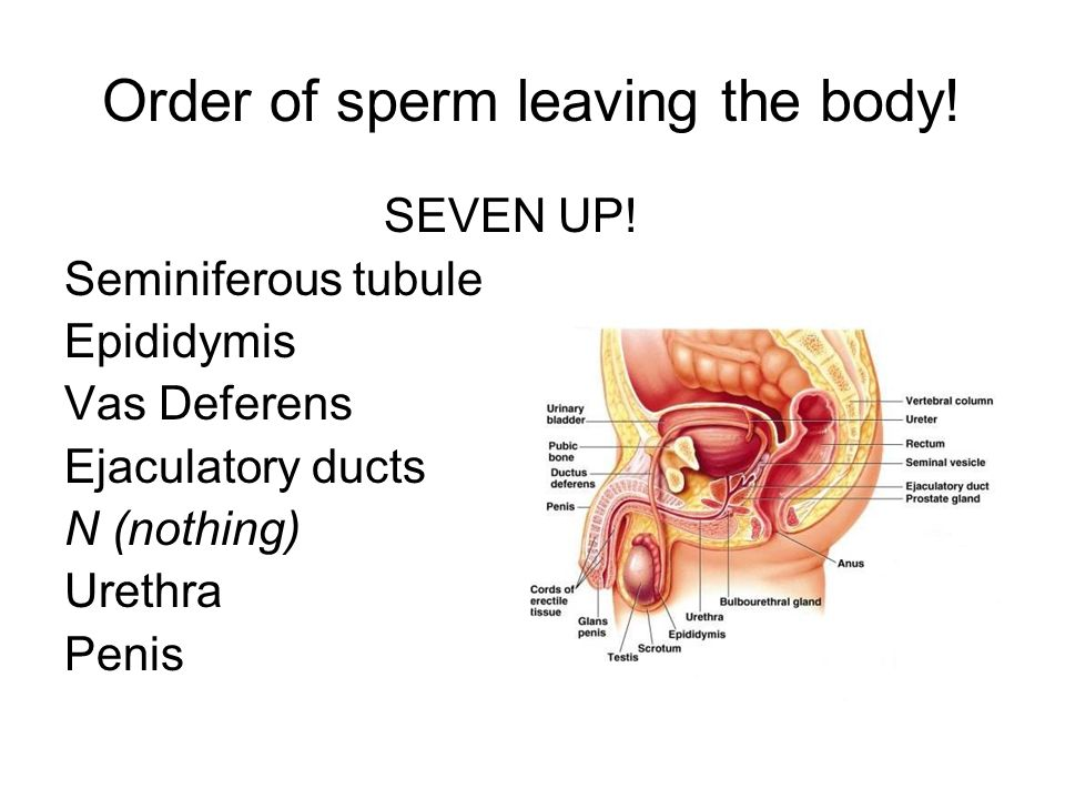 Order of sperm leaving the body!