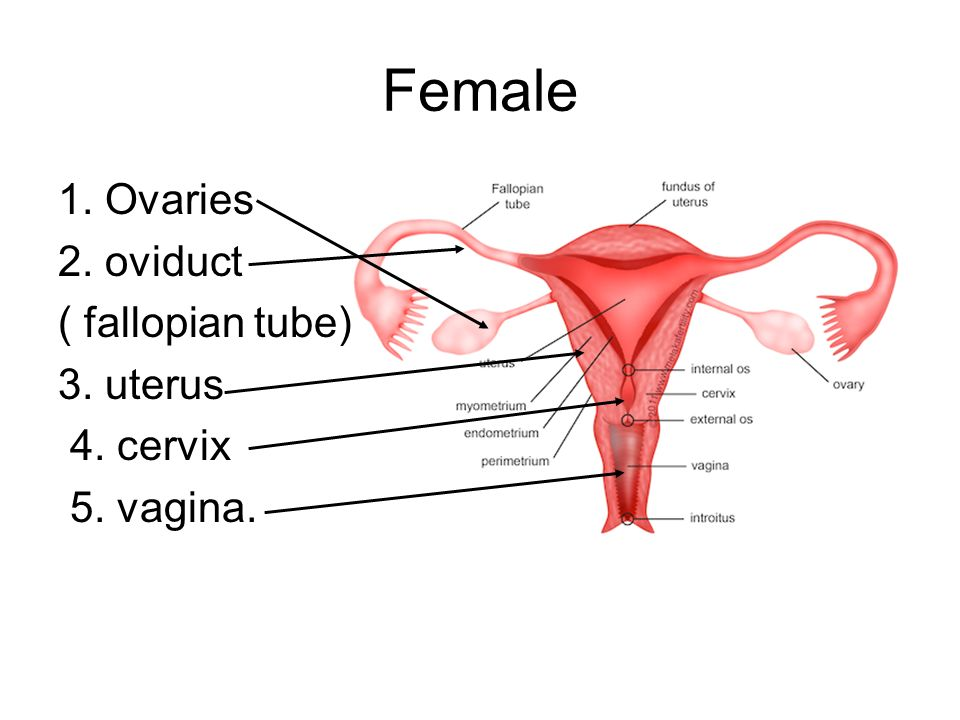 Female 1. Ovaries 2. oviduct ( fallopian tube) 3. uterus 4. cervix