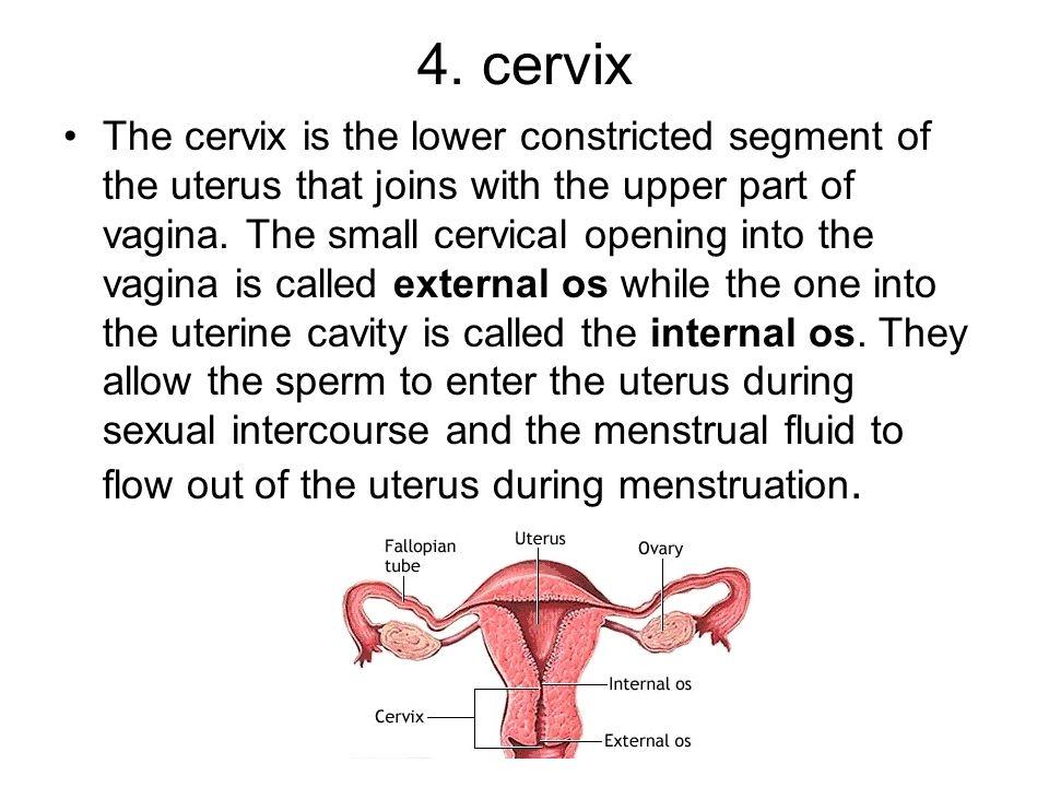 4. cervix