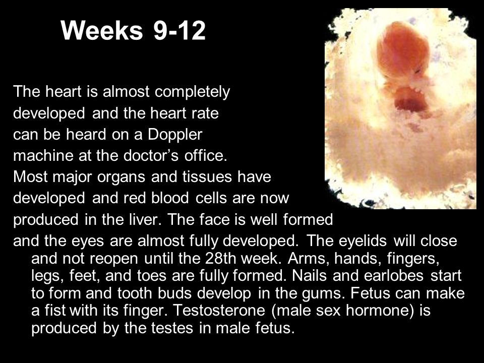 Weeks 9-12 The heart is almost completely developed and the heart rate