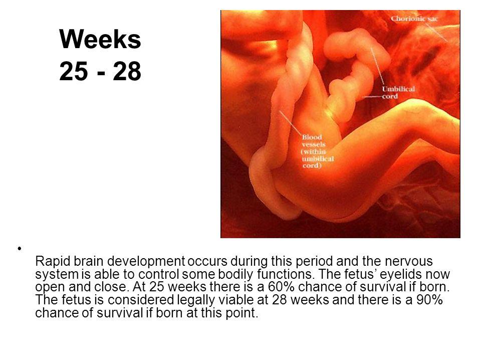 Weeks 25 - 28