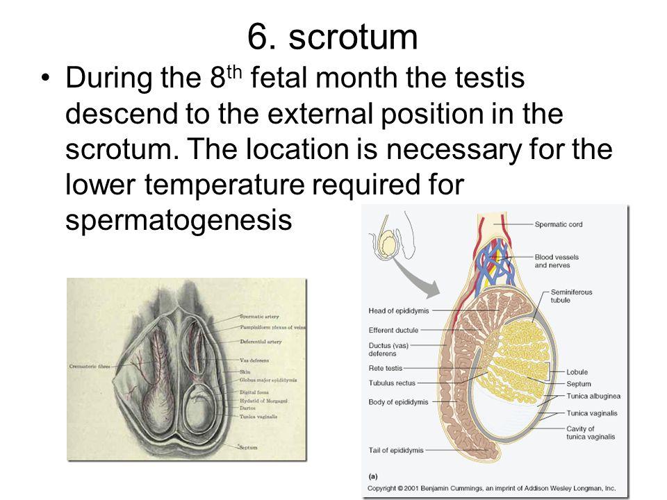 6. scrotum